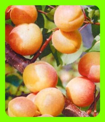 абрикос восточный саян описание сорта фото отзывы турецкий