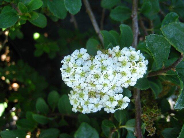 спирея белая метелка